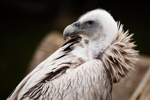 Vulture unseen wallpaper