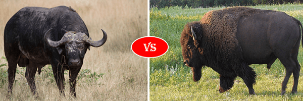 buffalo vs bison