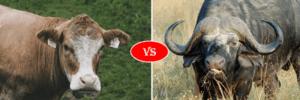 buffalo vs cow