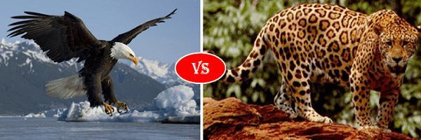 jaguar vs eagle
