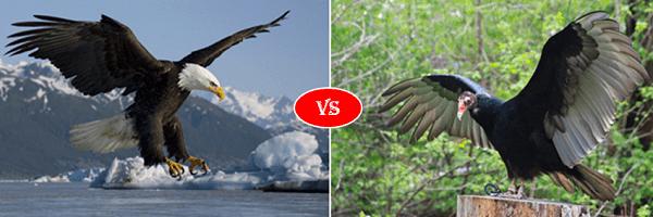 eagle vs vulture