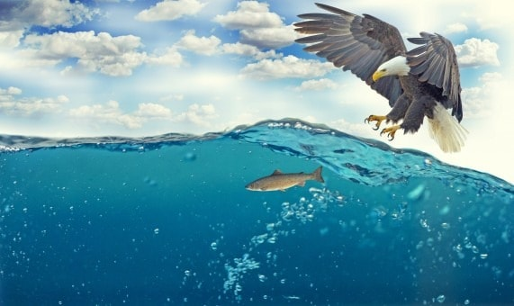 Bald eagle preying a fish