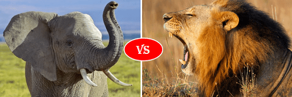 african elephant vs african lion