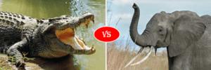 african elephant vs nile crocodile