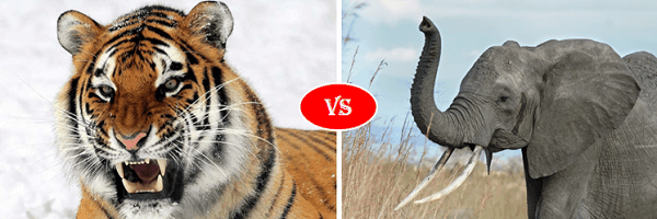 african elephant vs siberian tiger