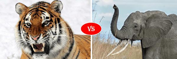 african elephant vs siberian tiger