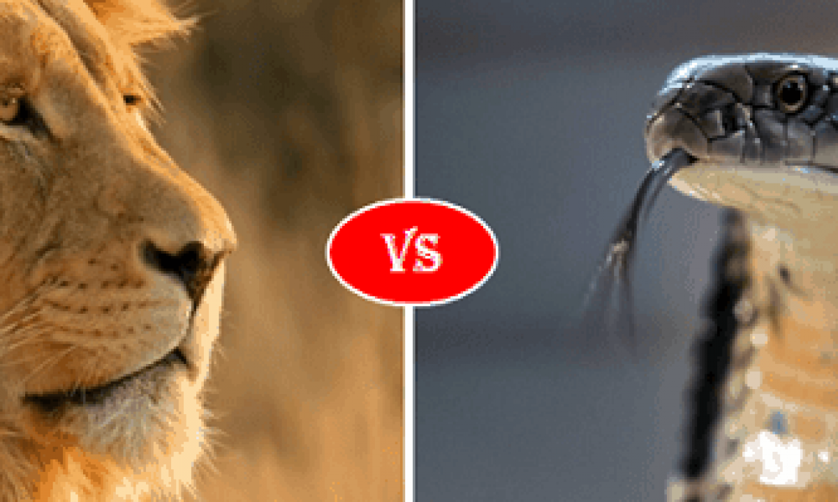 King Cobra Snake Vs African Lion Fight Comparison Who Will Win