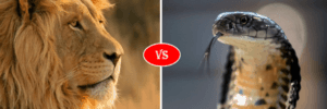african lion vs king cobra snake
