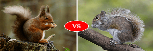 red squirrel vs grey squirrel