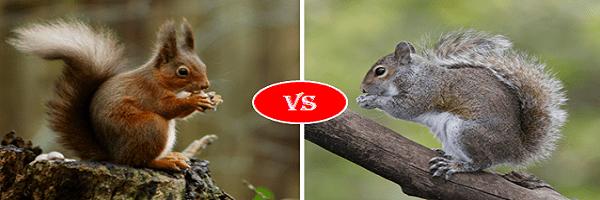 red squirrel vs grey squirrel