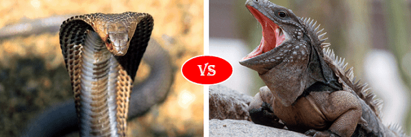snake vs iguana