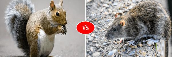 squirrel vs rat