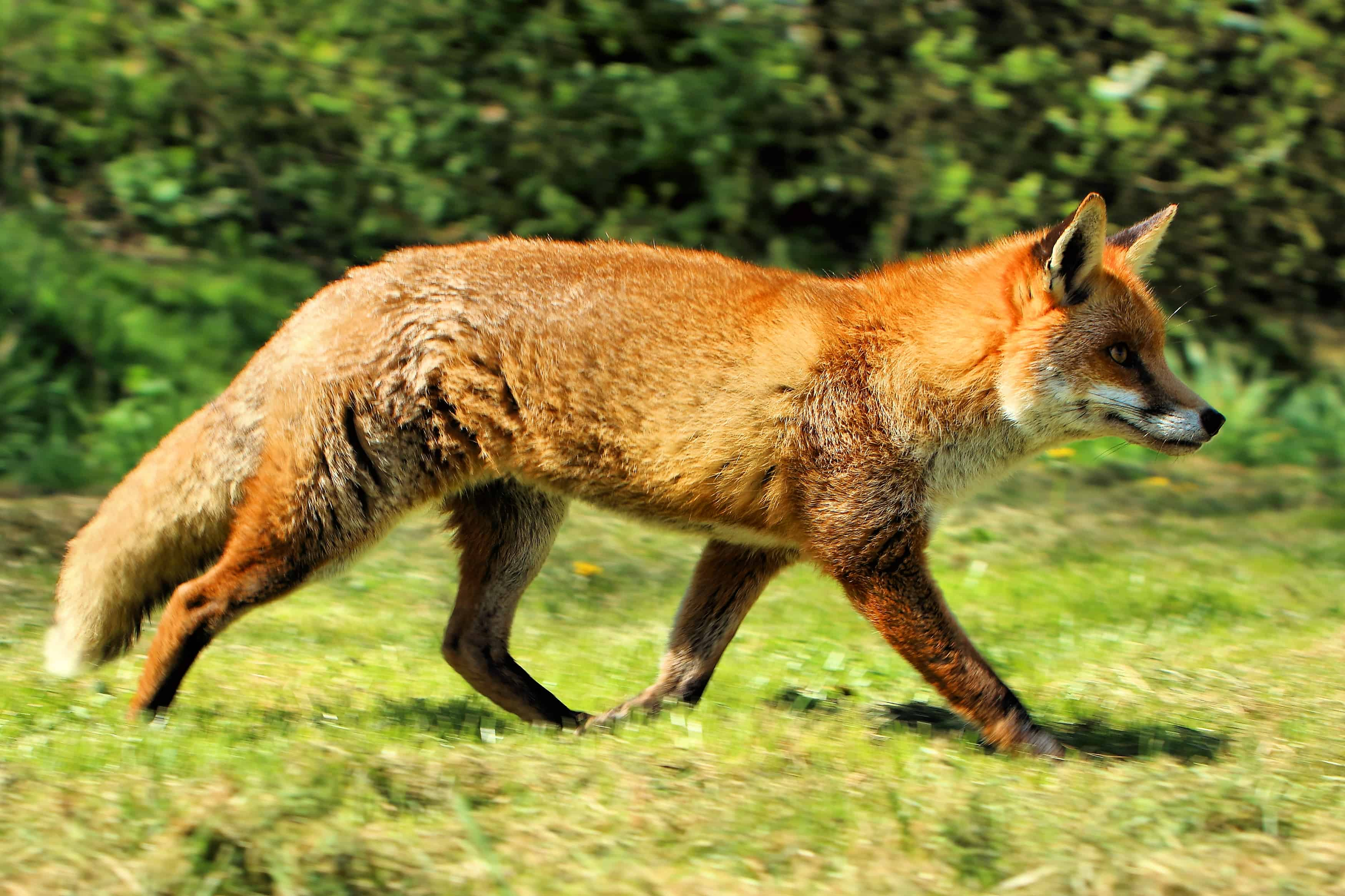 What is average size, length and tail of a fox?