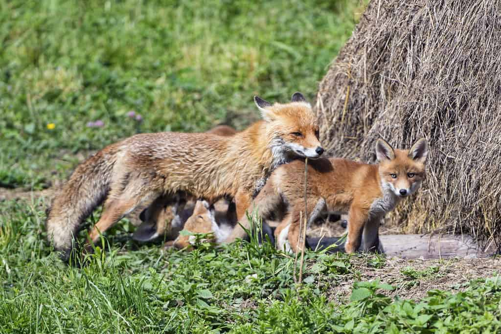 How Does a fox reproduce?