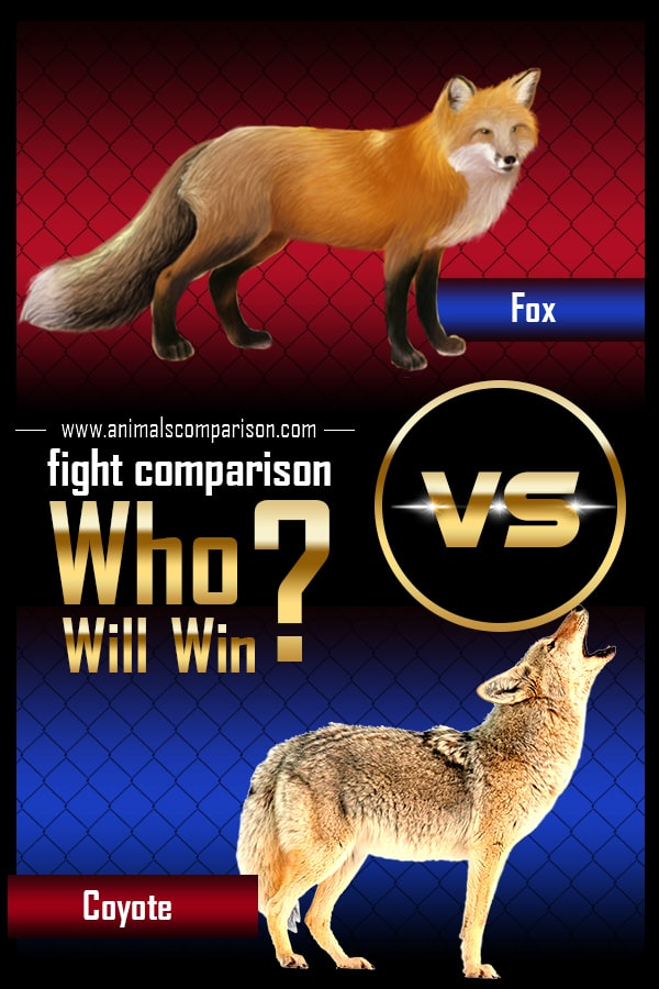 Fox vs Coyote fight
