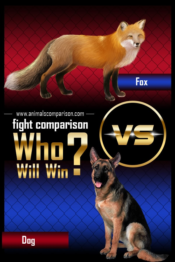 Fox vs Dog fight