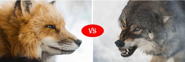 Fox vs gray wolf
