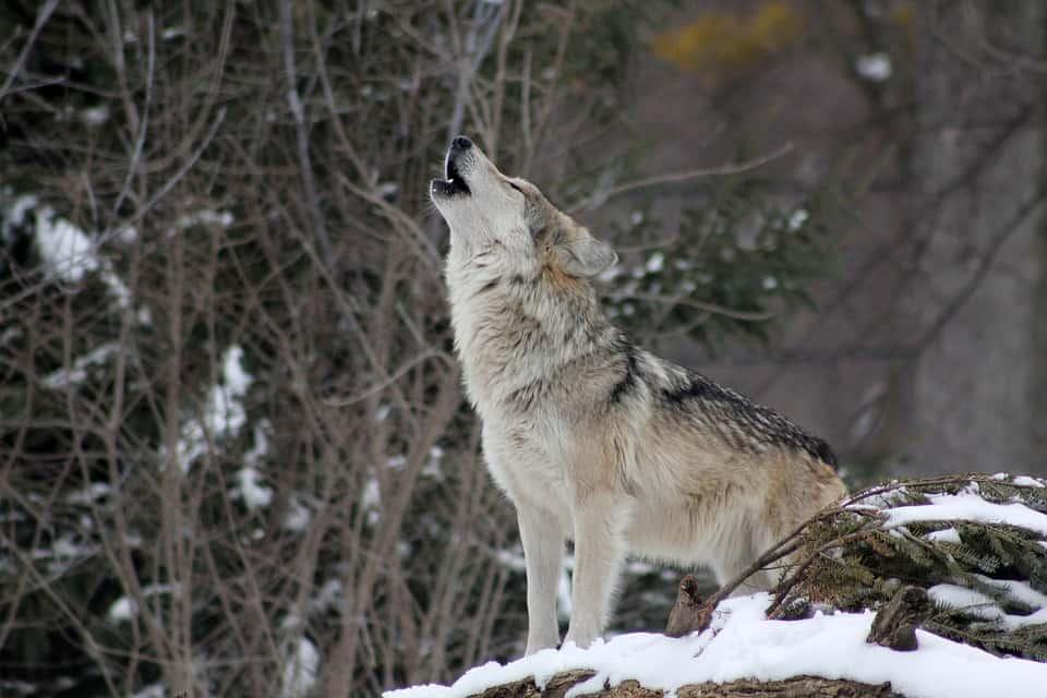 How Far Wolf Howl can be heard?