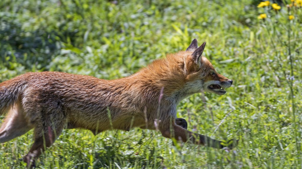 How Fast Does a fox run?
