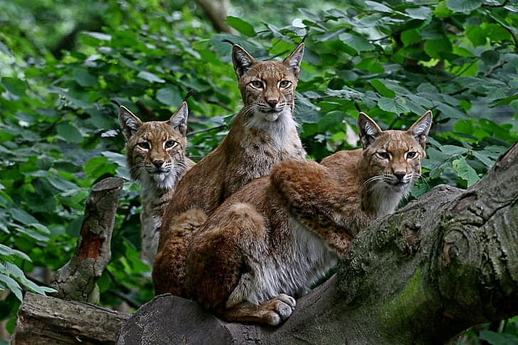 How Many Lynx species are there?