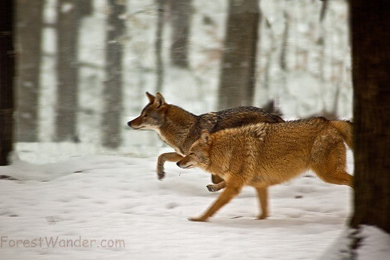 How fast does a coyote runs?