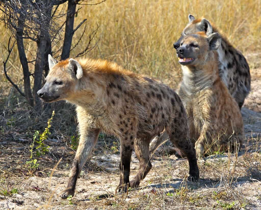 How many species of Hyena are there?