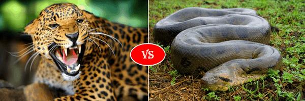 Jaguar vs anaconda
