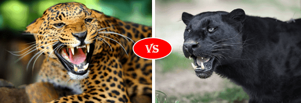 Jaguar vs panther