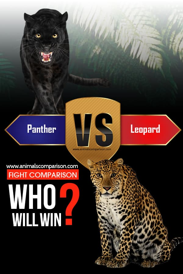 How Leopard hunt the prey?