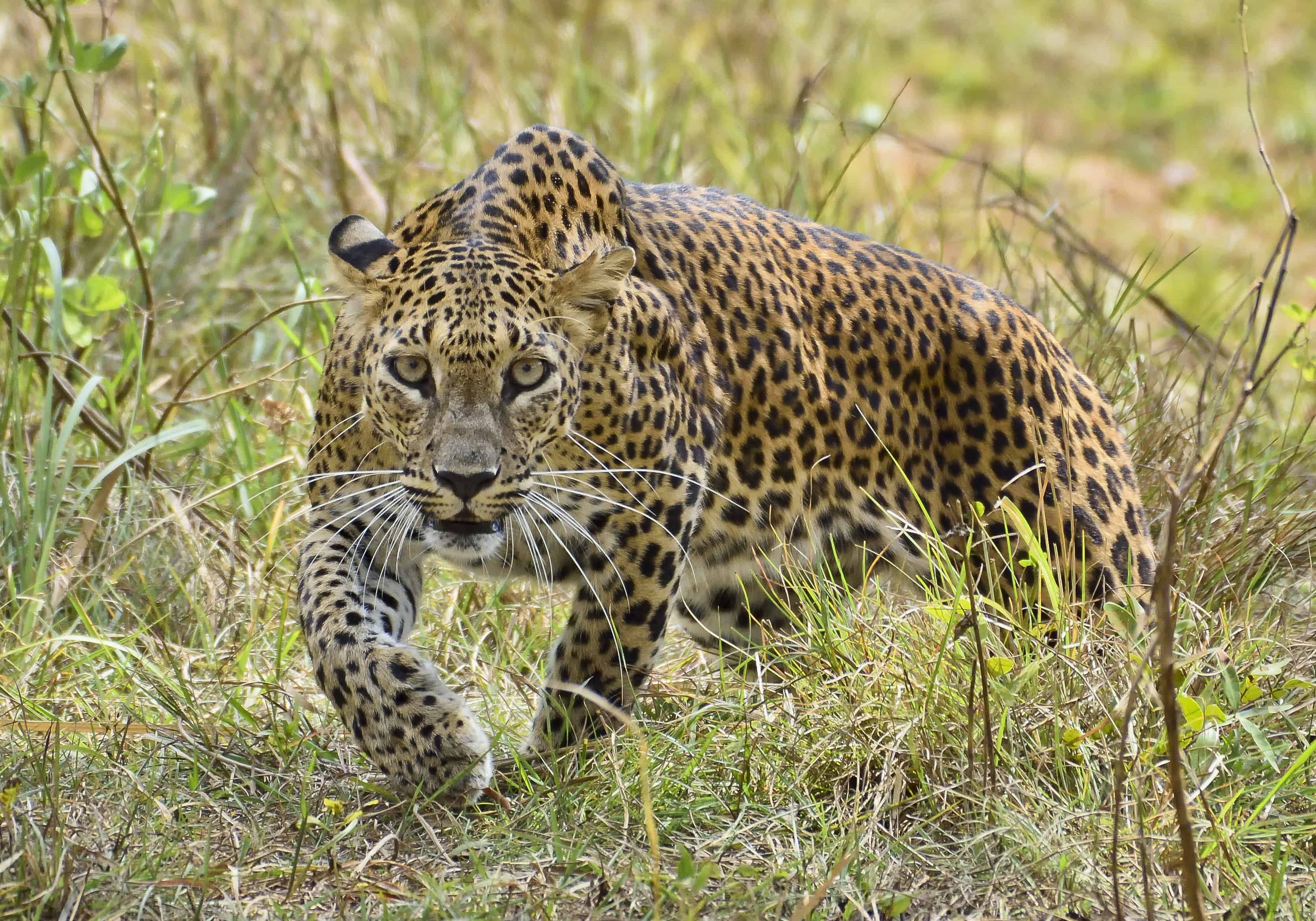 What are the interesting facts about Leopard?