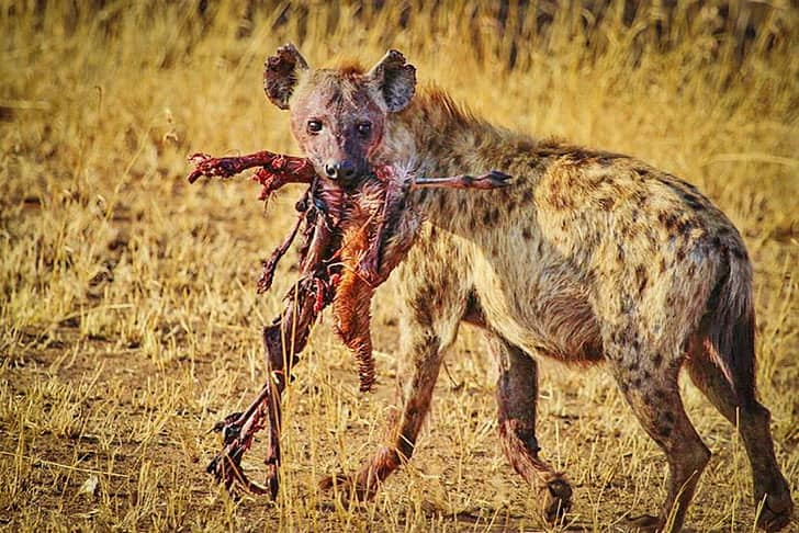 What does a Hyena eat?