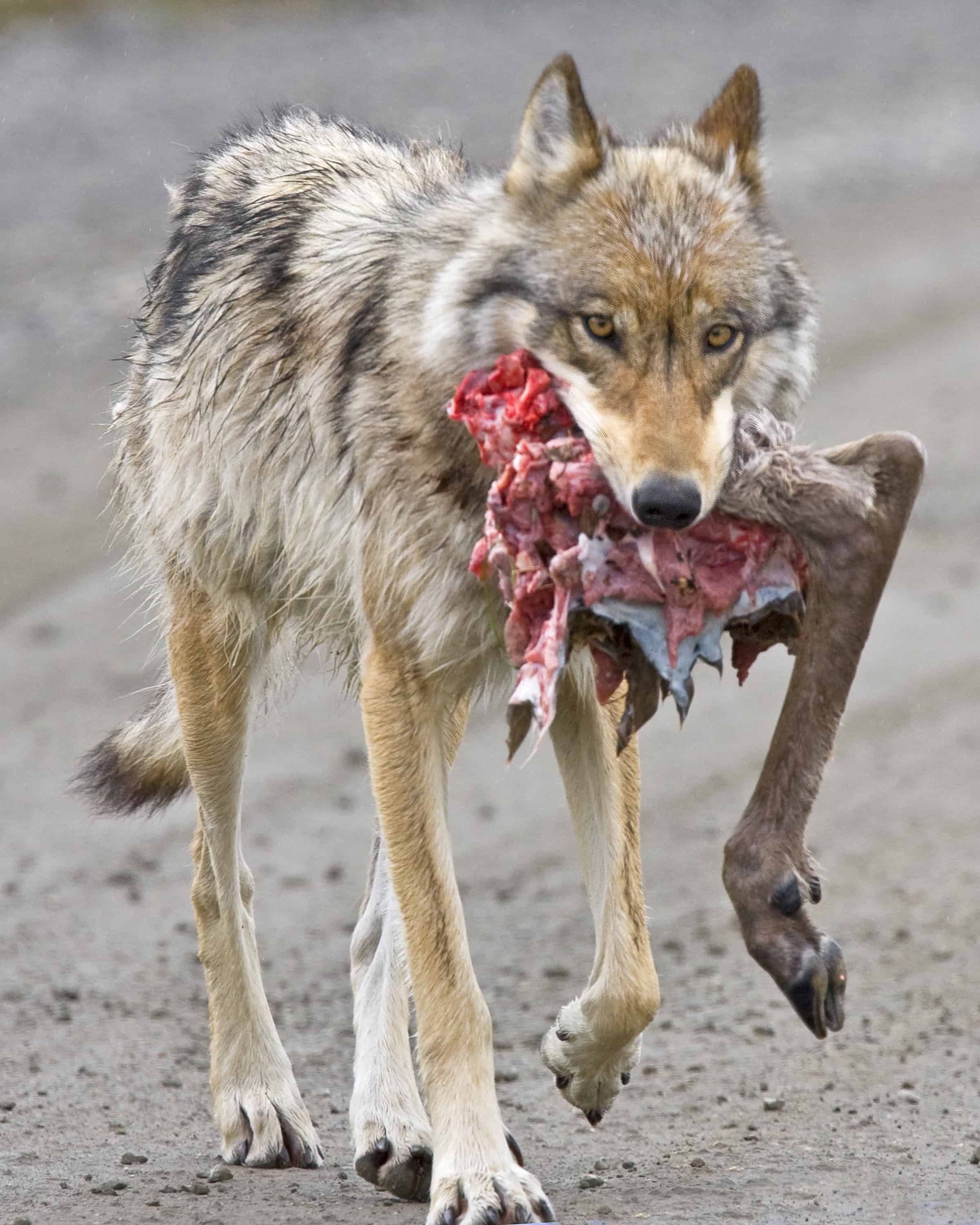What does a Wolf eats?