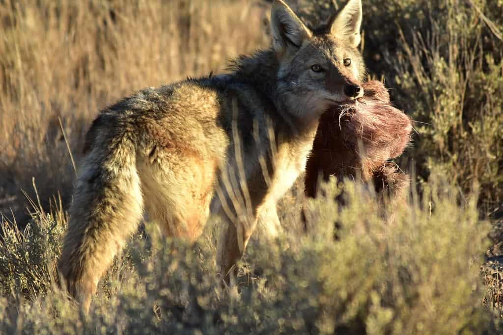 What does a coyote eat?