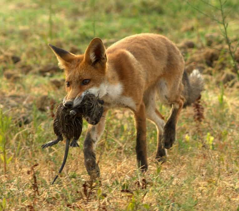 What does a fox eat?