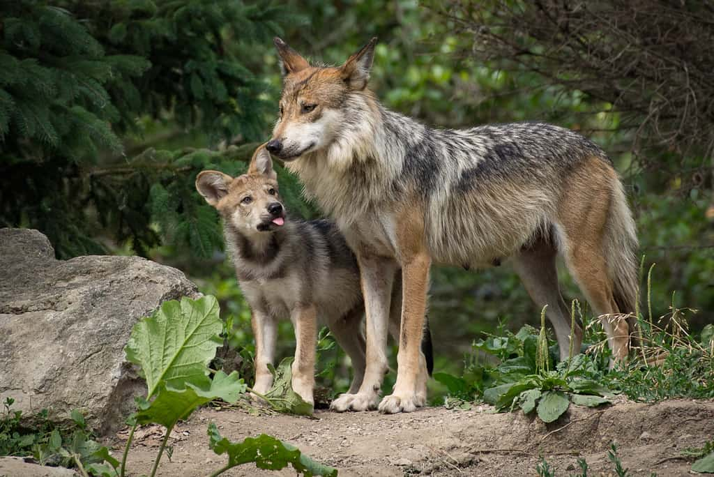 What is Gestation period of a wolf?