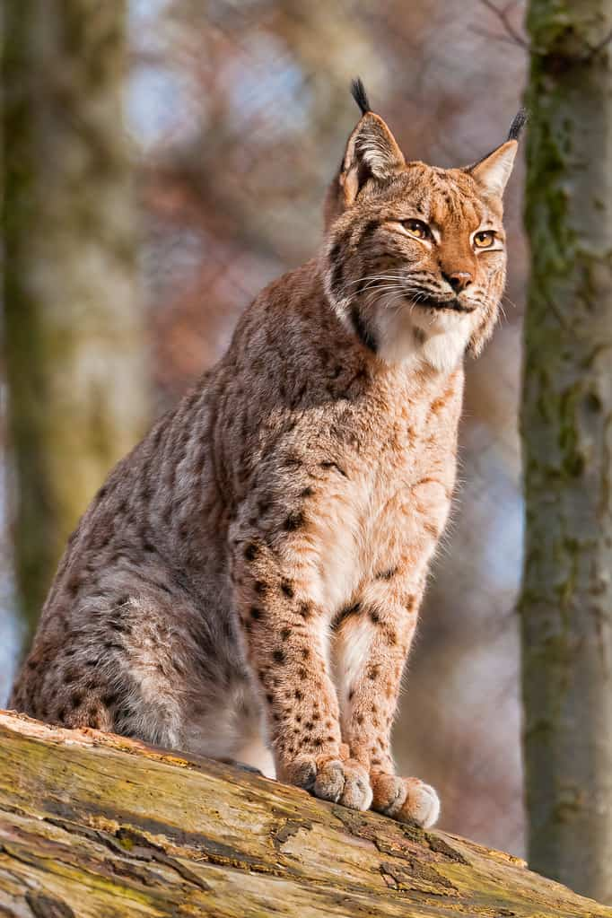 What is a lynx?