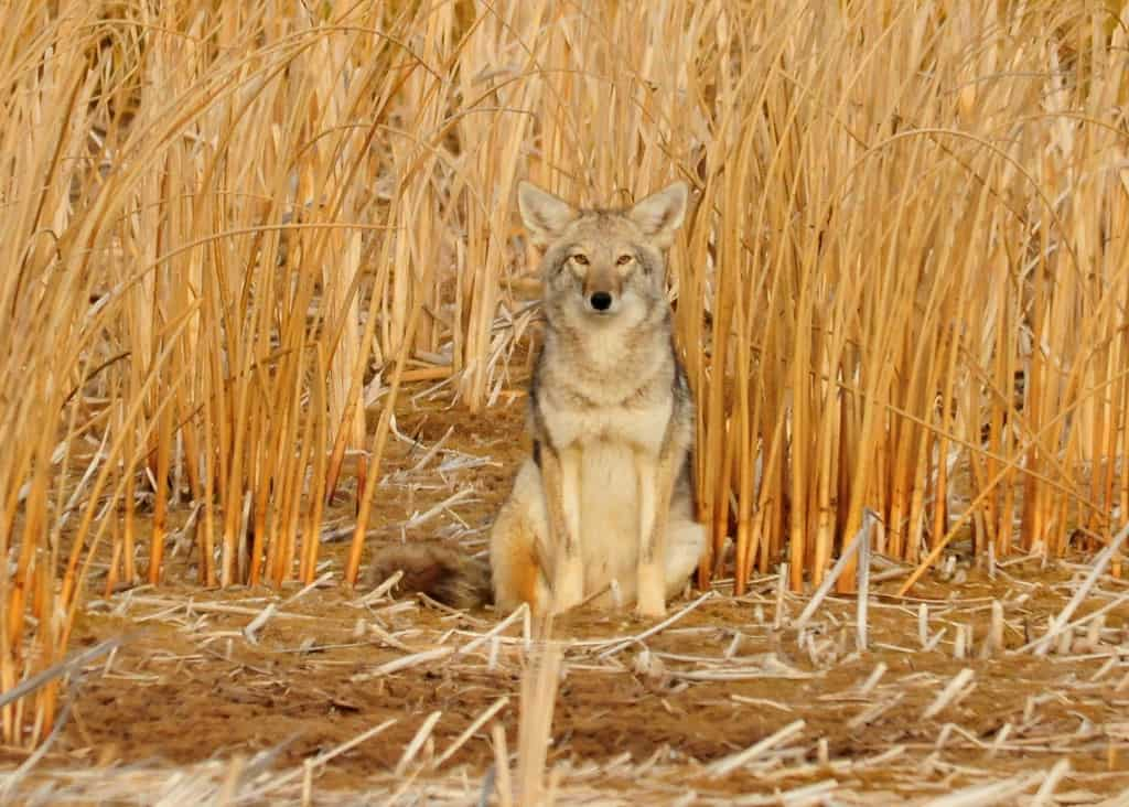 What is average weight of a coyote?