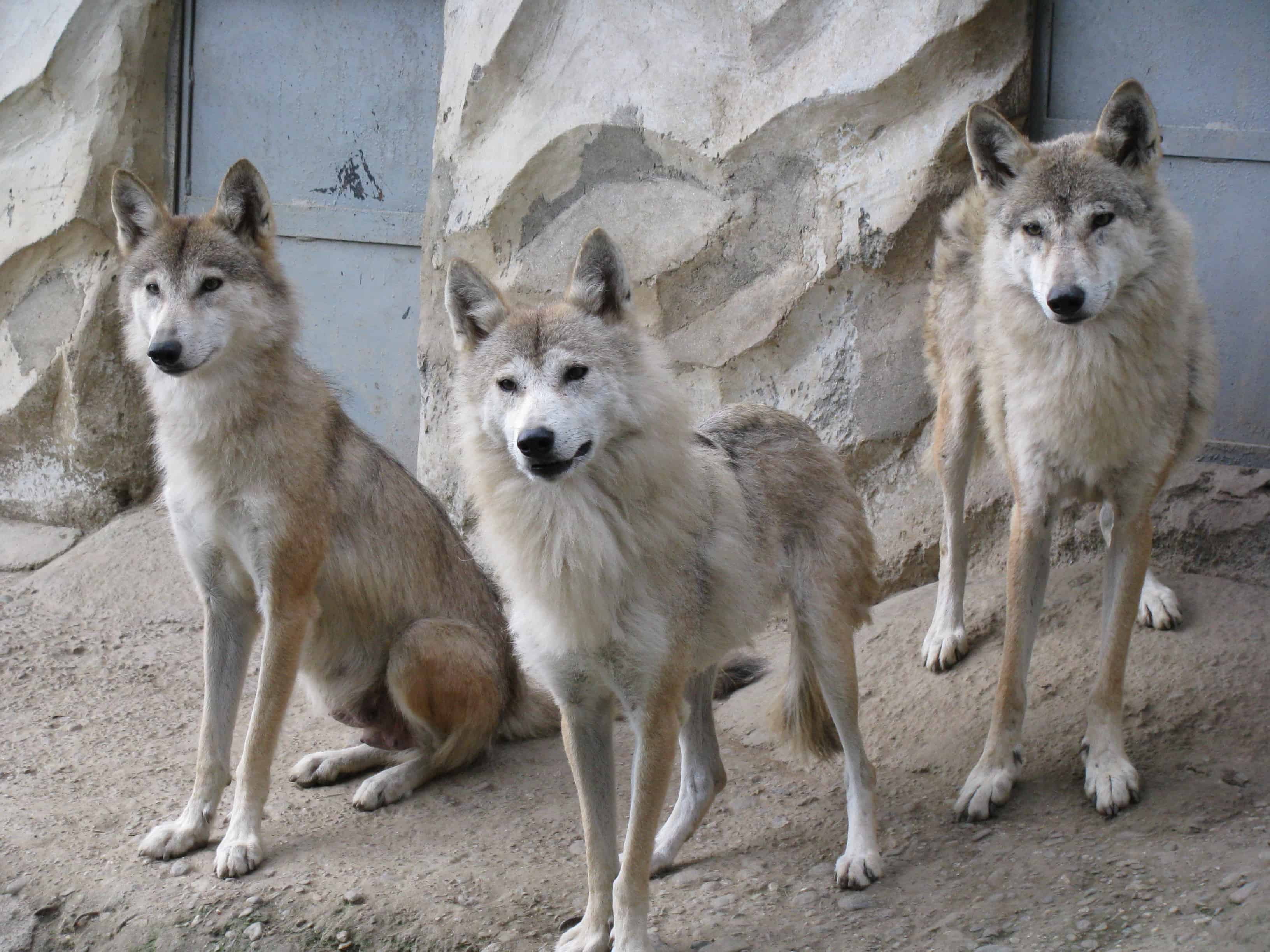 What is estimated Population of a wolf?