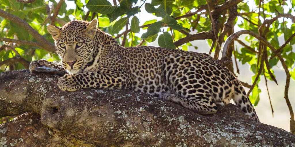 What is habitat of a Leopard?