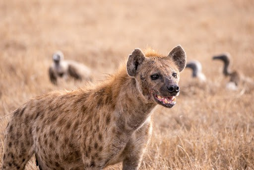 What is habitat of a hyena?