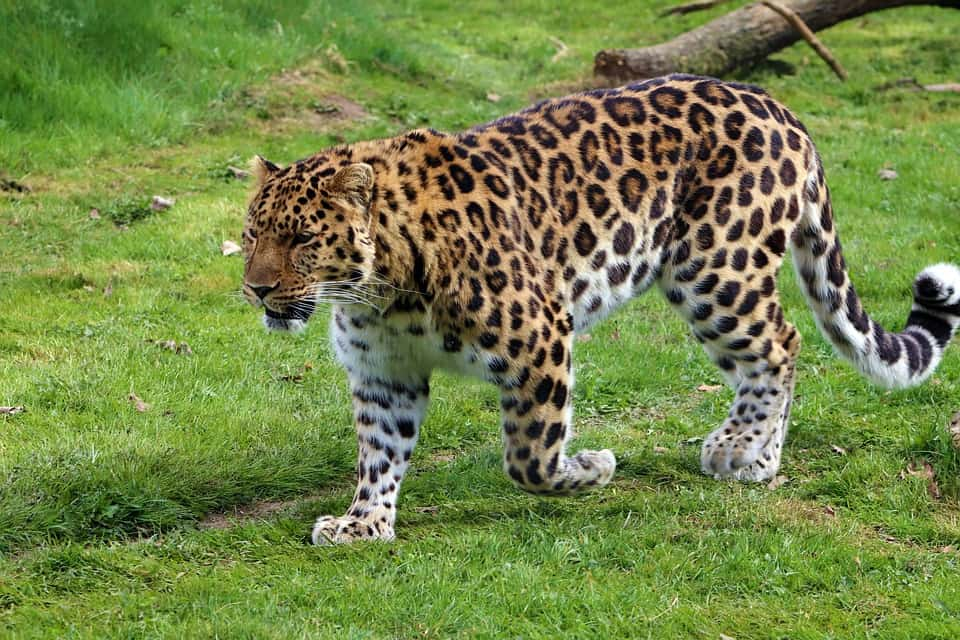 What is height and weight of a Leopard?
