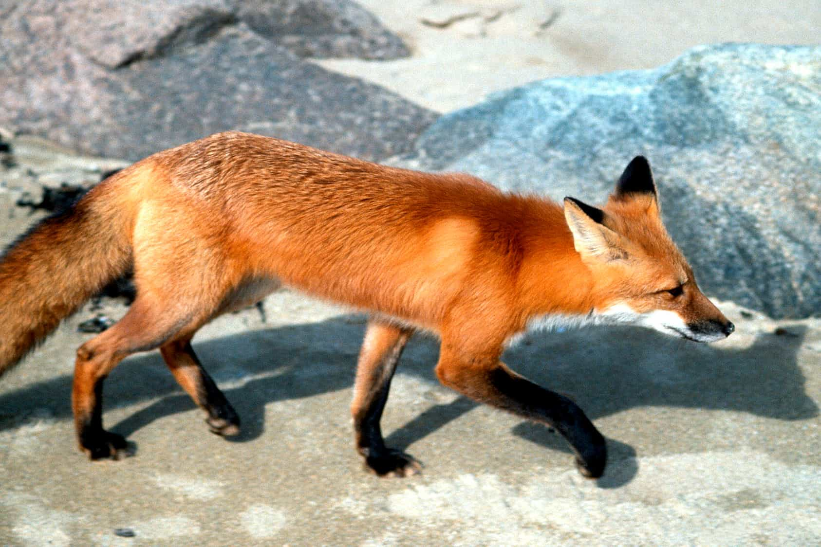 What is height, weight and size of a fox?