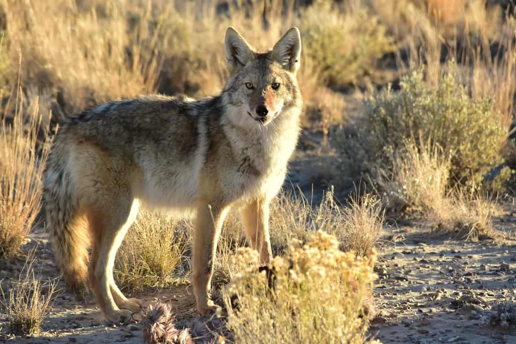 What is length and size of coyote?
