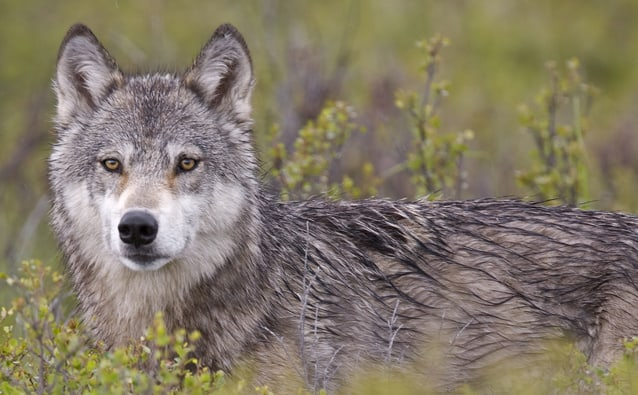 What is the Habitat of a wolf?