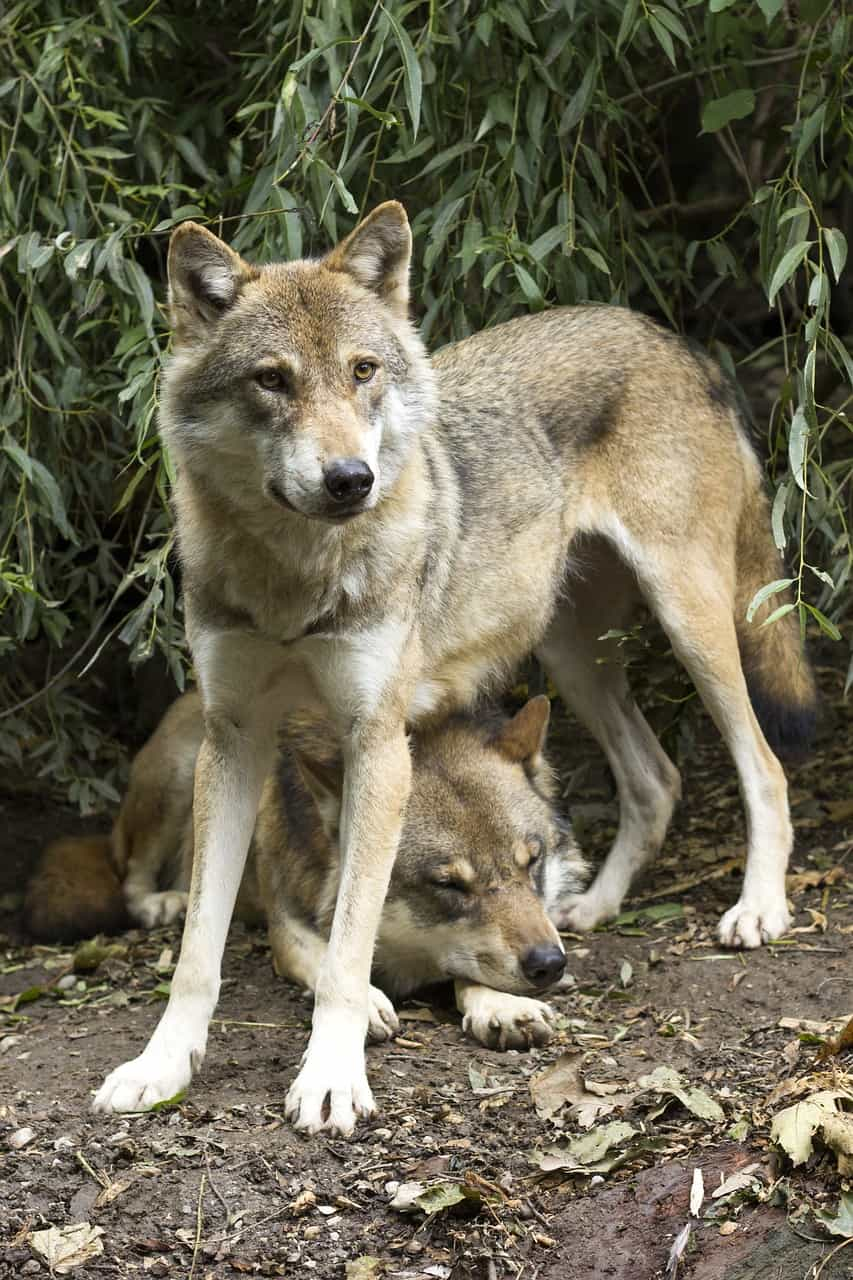 What is the average weight of a wolf?