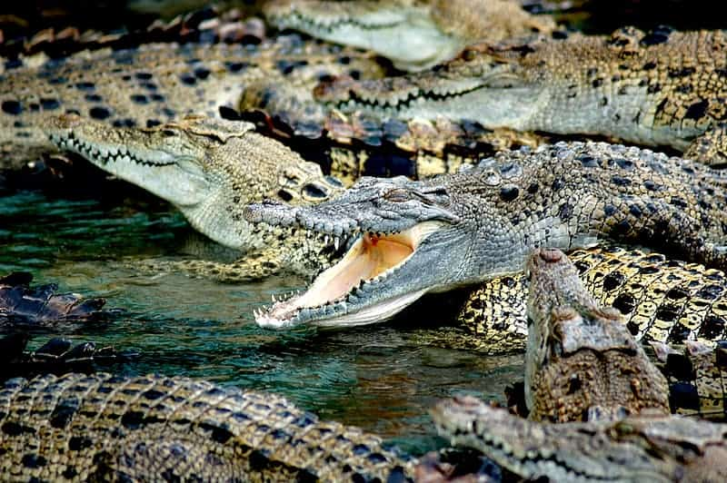 What is the lifespan of a crocodile?
