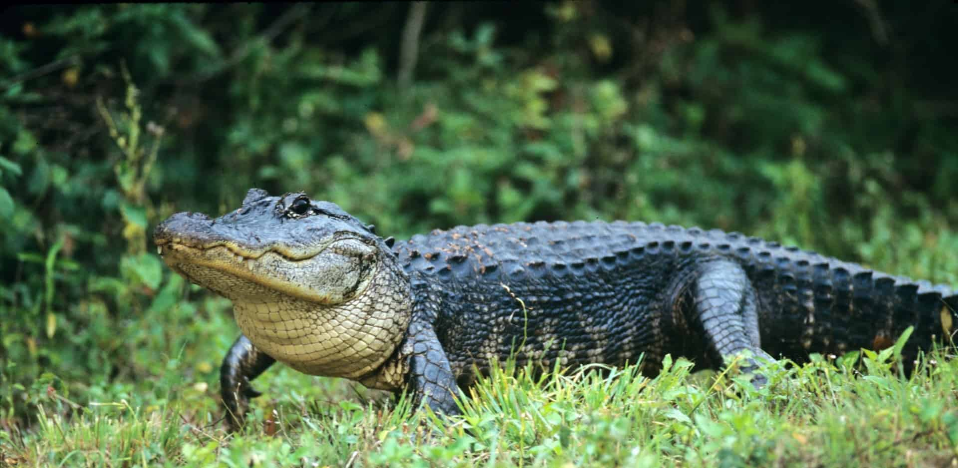 What is the size and length of an alligator?
