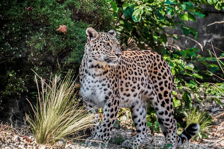 What is the size, length, lifespan and height of a Leopard?