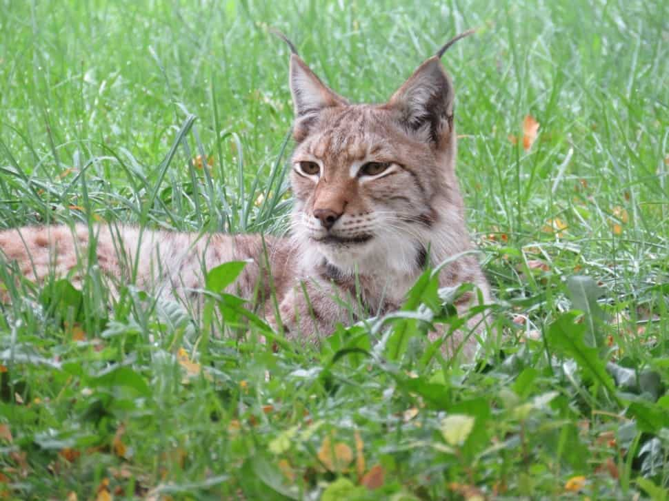 Where are the lynx found?