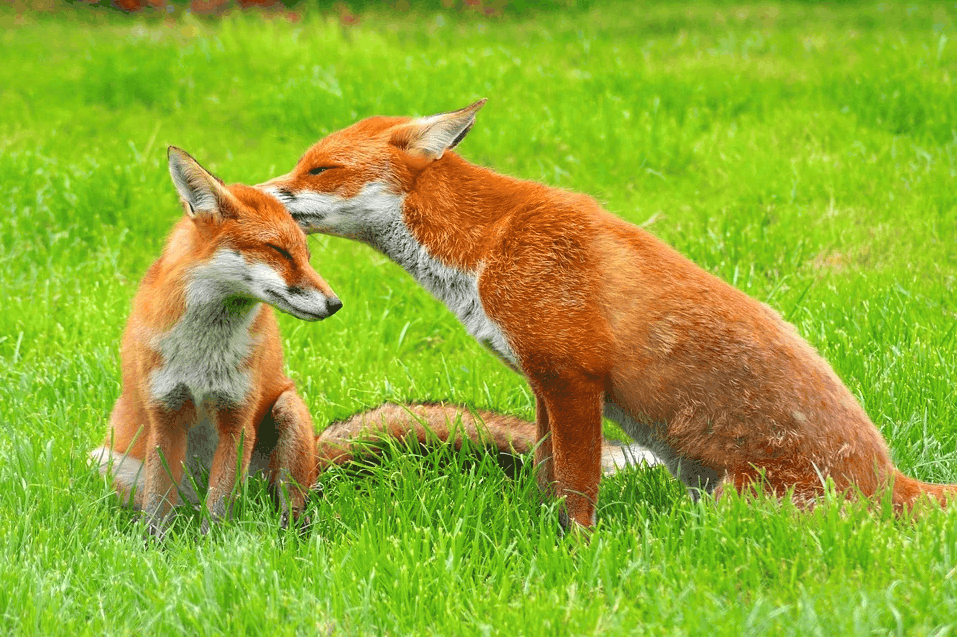 Where do you found foxes?